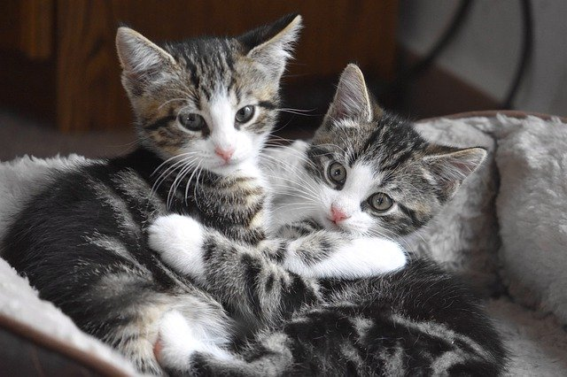 ACCUEILLIR UN CHATON (OU CHAT ADULTE) : 2 chatons