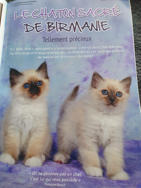 Magazine matou chat article chats sacré de birmanie
