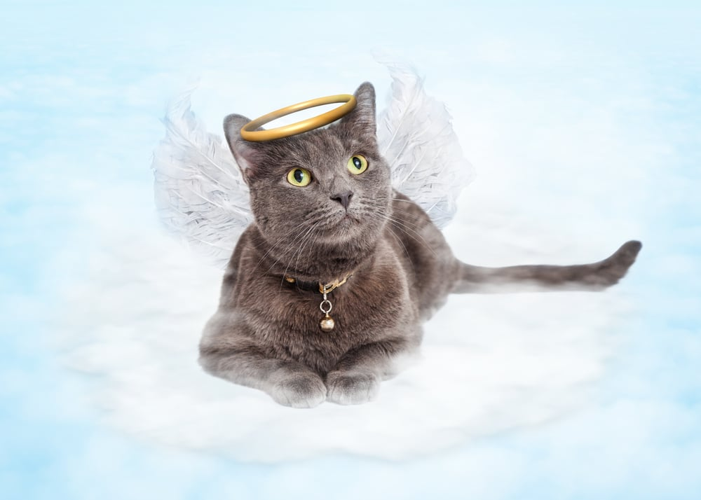 chat ange  - Mort de son chat ou d'un animal _ Que faire de son corps _