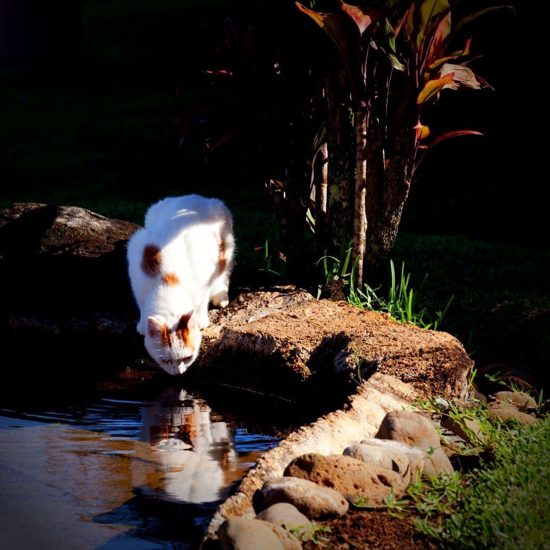 chat qui boit dans une mare