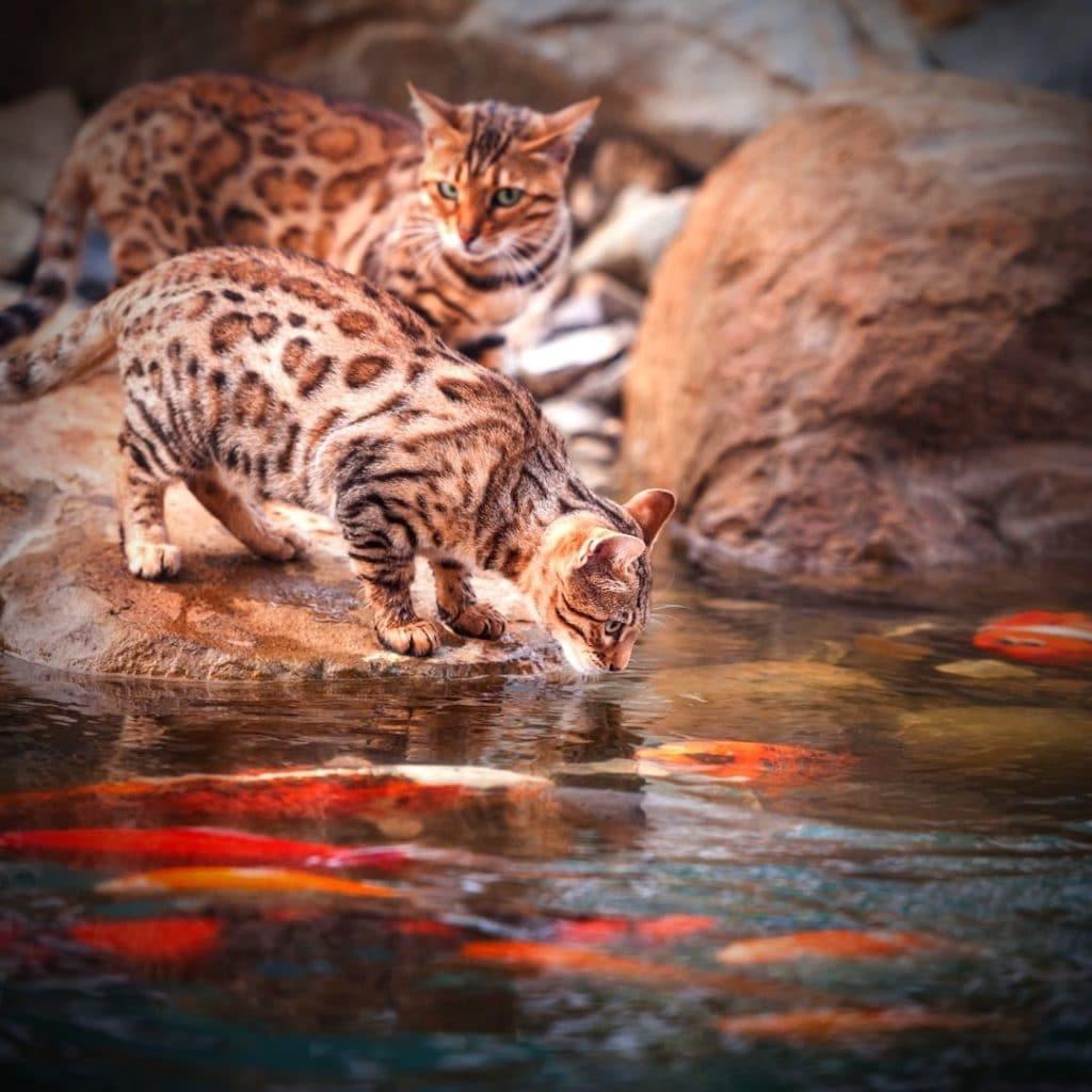 chat qui boit dans un étang