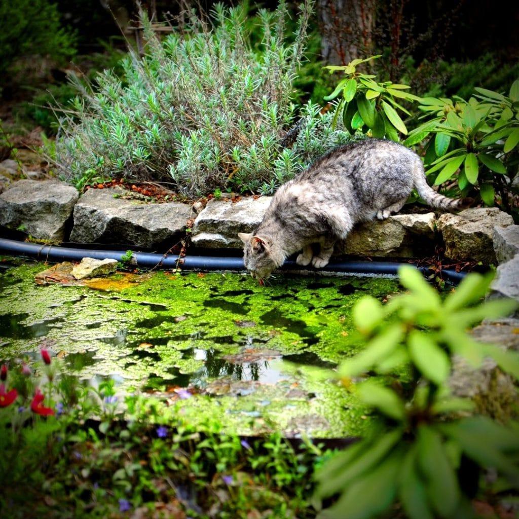 chat qui boit de l'eau dans un étang