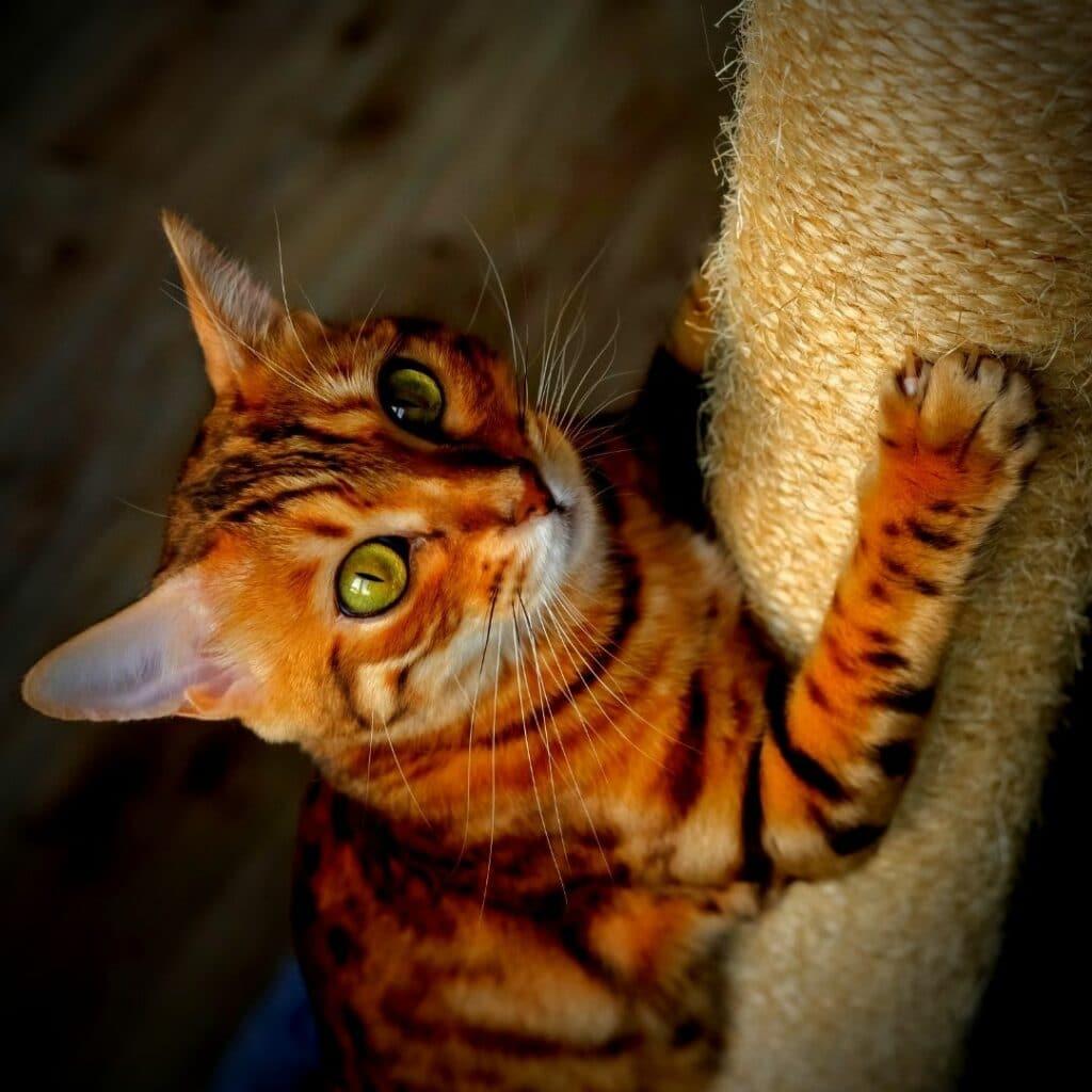 chat - griffoir vertical - A poser
