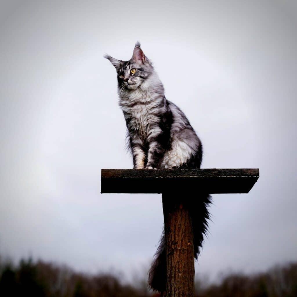 chat - griffoir vertical - avec plateforme