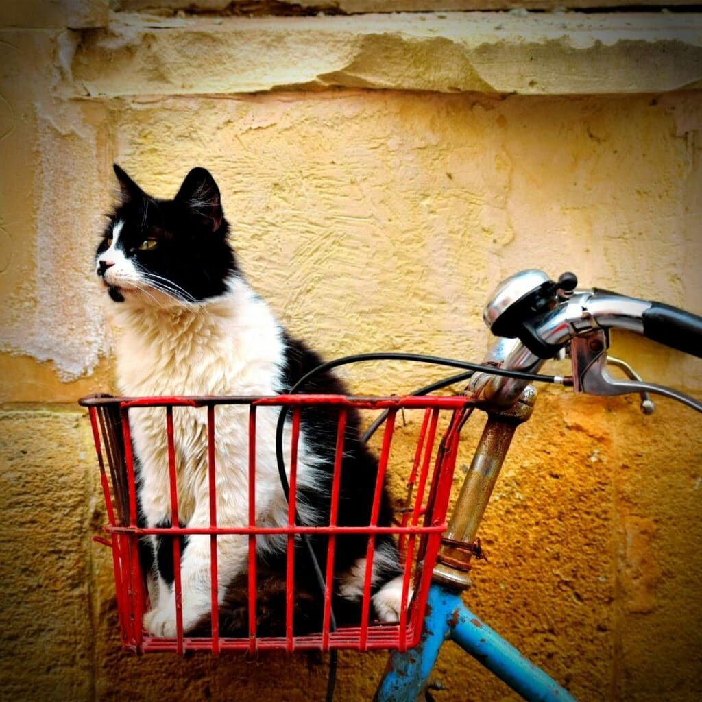 chat transport à vélo