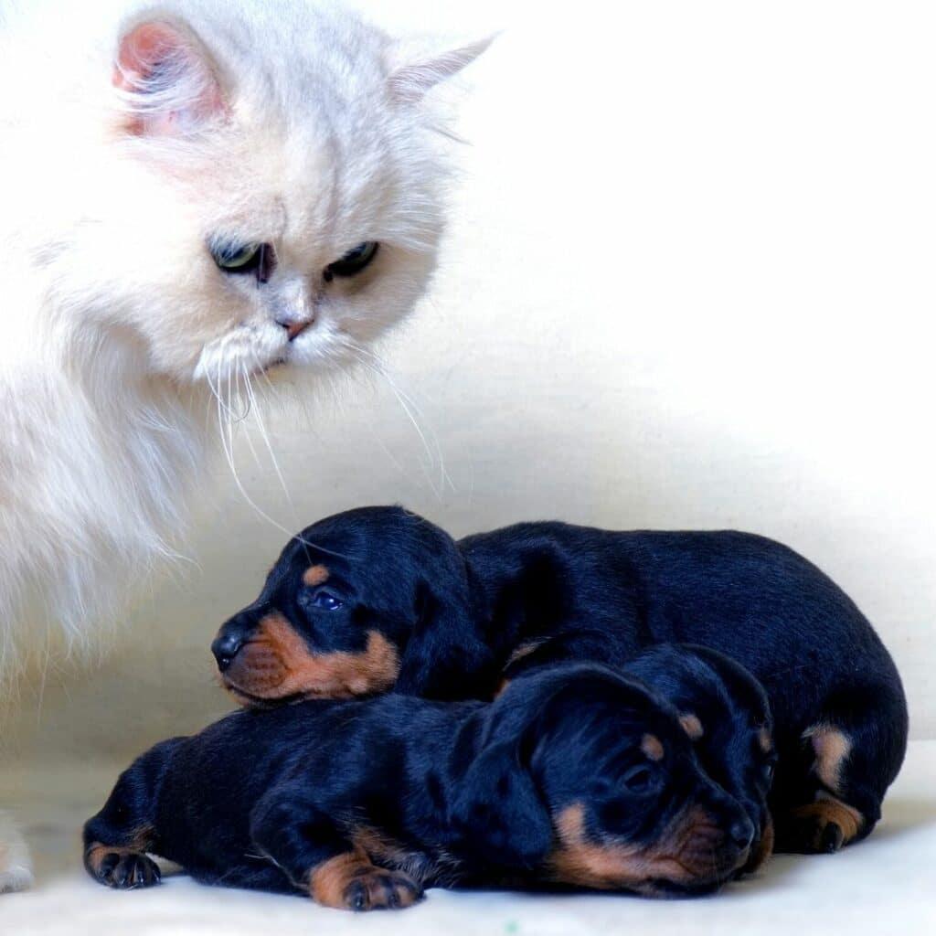 comportementaliste - cohabitation chat et chien