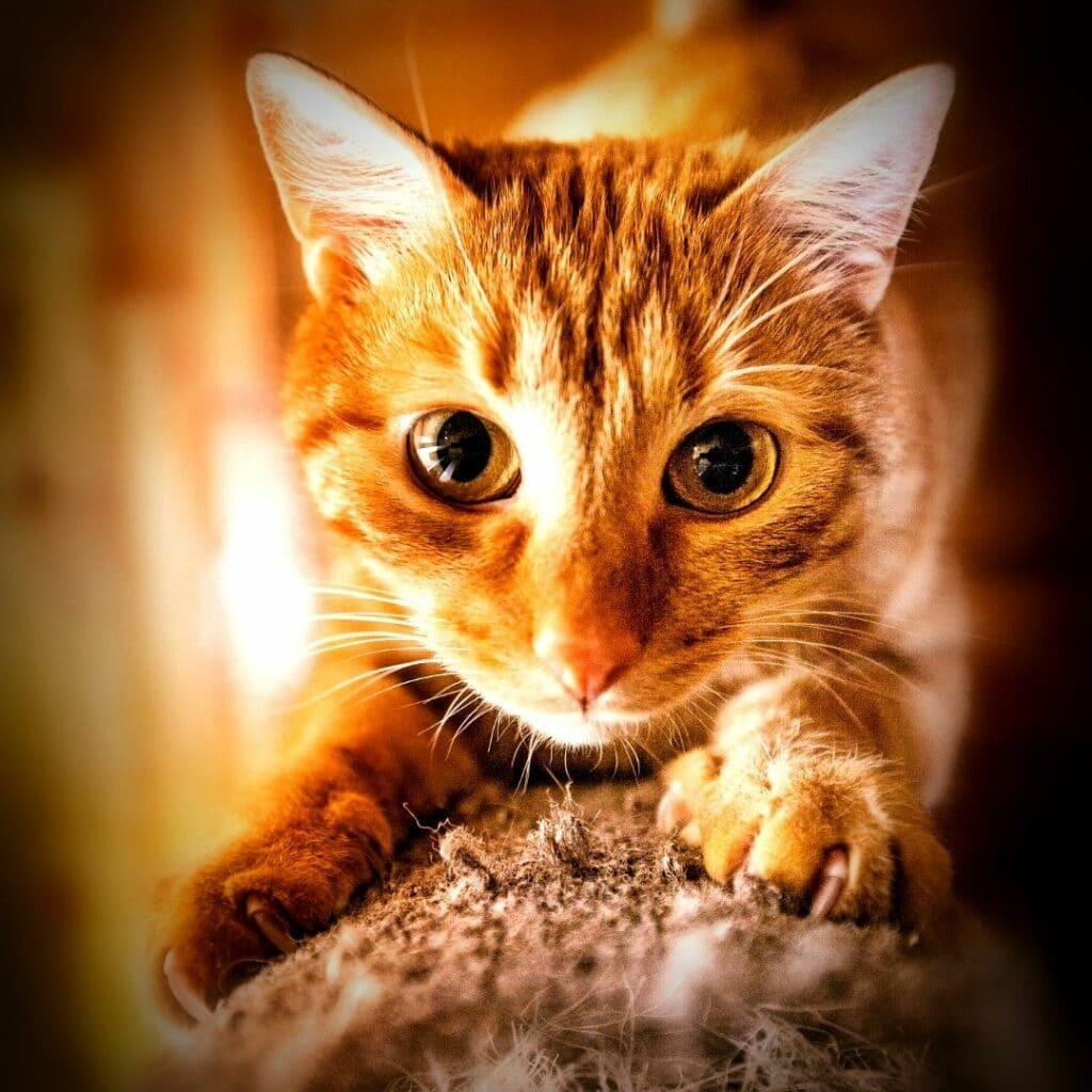 chat faire ses griffes