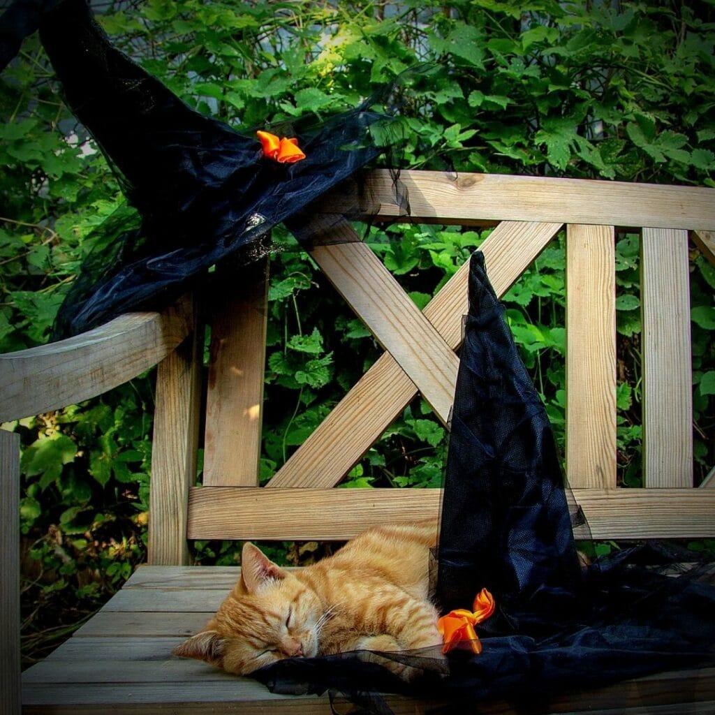 chat roux et chapeaux halloween